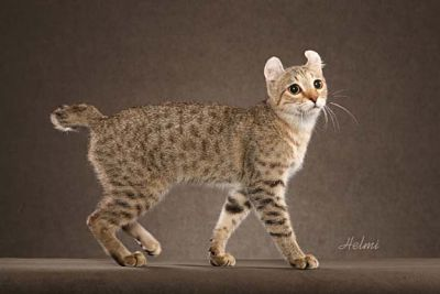 Tufted Eared Domestic Cats