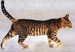 Toyger lopend